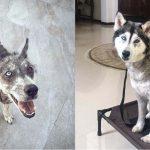 """""""สุนัขไซบีเรียนฮัสกี้"""" ที่ถูกทิ้งข้างทาง กลับมาหล่อได้อีกครั้ง เพราะน้ำใจมนุษย์…"""